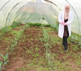 A volunteer at the Al Husn refugee camp in Jordan harvests vegetables in a greenhouse.