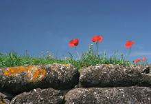 Remembrance day poppies atop stone wall.
